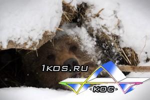 Русский медведь никогда не умирает он просто впадает в спячку